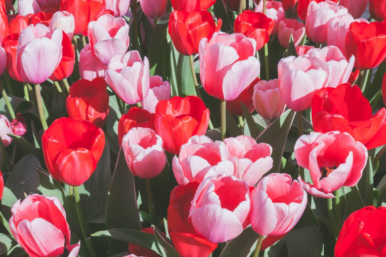 tulipes-amsterdam (3)