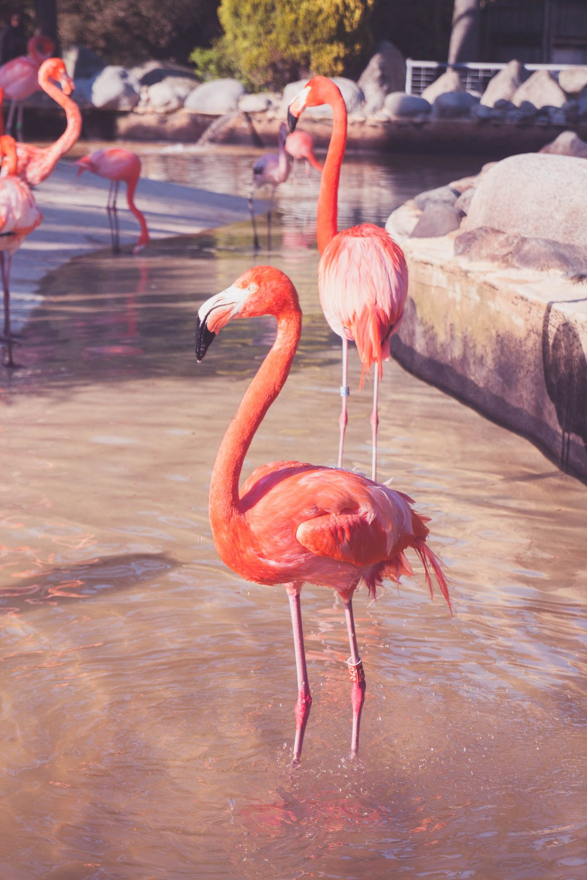 flamands-rose-palmyre-royan (5)