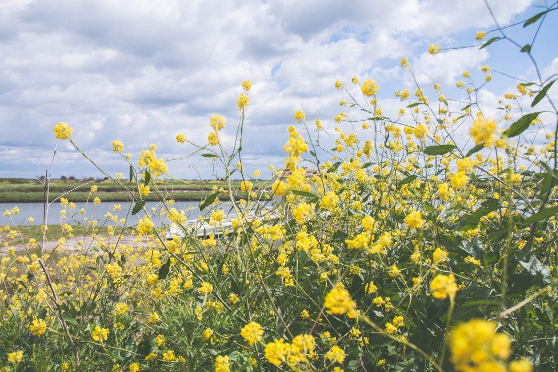 fleurs-colza-charente-maritime
