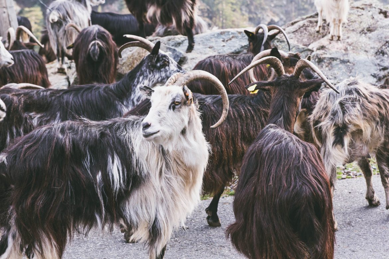 Decouvrir les montagne et la vallee d'Asco en Corse