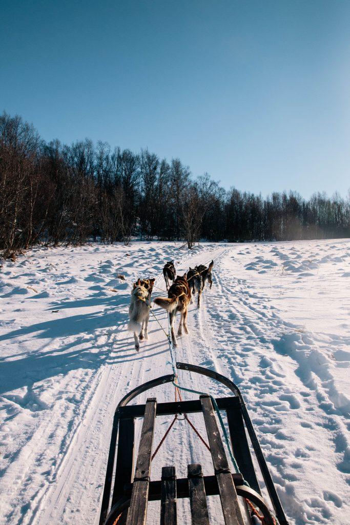 Elevage chien traineau ethique Alpes Lyngen norvege du nord