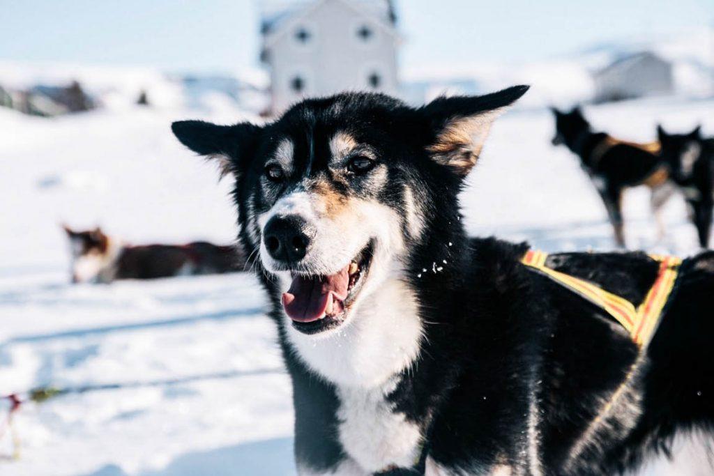 chien de traineau norvége du nord