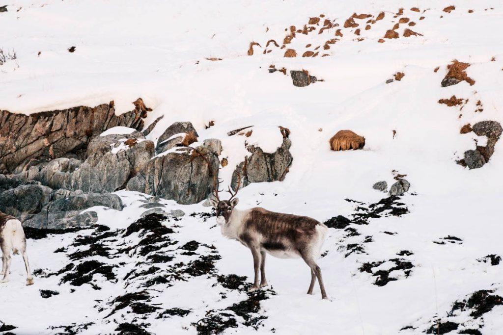 renne tromso norvege du nord